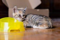 Κινεζική γάτα - δράκος-λι Στοκ Φωτογραφία