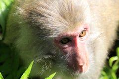 Κινεζική κινηματογράφηση σε πρώτο πλάνο macaque Στοκ φωτογραφία με δικαίωμα ελεύθερης χρήσης