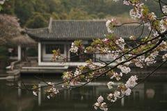 Κινεζικός κήπος με το άνθος κερασιών Στοκ Φωτογραφία