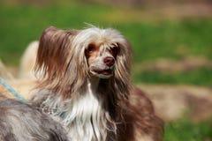 Κινεζικός λοφιοφόρος φυλής σκυλιών Στοκ Εικόνες