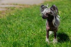 Κινεζικός λοφιοφόρος φυλής σκυλιών Στοκ εικόνες με δικαίωμα ελεύθερης χρήσης