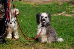 Κινεζικός λοφιοφόρος φυλής σκυλιών Στοκ εικόνα με δικαίωμα ελεύθερης χρήσης