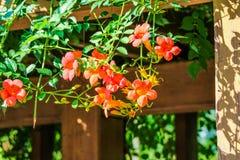 Κινεζικό αναρριχητικό φυτό σαλπίγγων Στοκ Φωτογραφίες