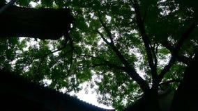 Κινεζικό αρχαίο κτήριο & πολύβλαστα παλαιά πράσινα δέντρα, φυσώντας φύλλα αερακιού φιλμ μικρού μήκους