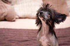 Κινεζικό δασύτριχο σκυλί Στοκ Φωτογραφίες