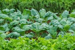 κινεζικό κατσαρό λάχανο στοκ εικόνες