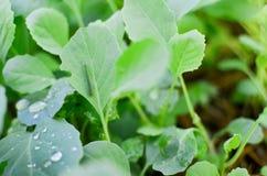 κινεζικό κατσαρό λάχανο Στοκ φωτογραφίες με δικαίωμα ελεύθερης χρήσης