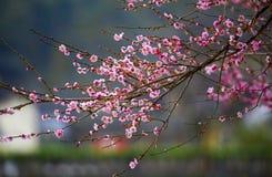 Κινεζικό λουλούδι δαμάσκηνων Στοκ φωτογραφίες με δικαίωμα ελεύθερης χρήσης