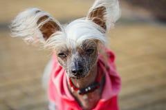 Κινεζικό λοφιοφόρο σκυλάκι Στοκ Εικόνες