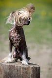 Κινεζικό λοφιοφόρο σκυλί Στοκ εικόνες με δικαίωμα ελεύθερης χρήσης