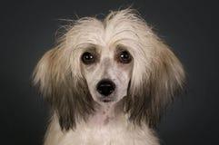 κινεζικό λοφιοφόρο σκυ& Στοκ Φωτογραφίες