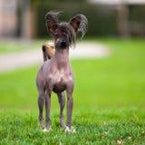 κινεζικό λοφιοφόρο σκυ&l