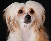 κινεζικό λοφιοφόρο σκυ&l Στοκ Εικόνα