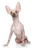 κινεζικό λοφιοφόρο σκυ&l Στοκ φωτογραφίες με δικαίωμα ελεύθερης χρήσης