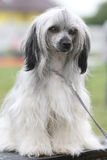 κινεζικό λοφιοφόρο σκυ&l Στοκ εικόνες με δικαίωμα ελεύθερης χρήσης