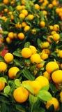 κινεζικό νέο έτος φυτών Στοκ Φωτογραφίες