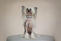 Κινεζικό λοφιοφόρο σκυλί με το ασημένιο περιλαίμιο Στοκ Φωτογραφία