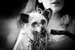 Κινεζικό λοφιοφόρο σκυλί που περπατά υπαίθρια στοκ φωτογραφίες με δικαίωμα ελεύθερης χρήσης