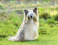 Κινεζικό λοφιοφόρο σκυλί (Powderpuff) Στοκ Εικόνες