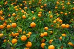 κινεζικό πορτοκάλι Στοκ φωτογραφίες με δικαίωμα ελεύθερης χρήσης