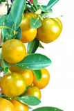 κινεζικό πορτοκάλι Στοκ Εικόνα