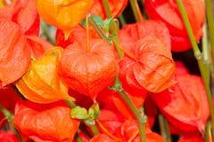 κινεζικό φανάρι λουλου&d Στοκ Φωτογραφία