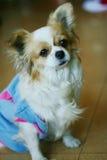 κινεζικό χαριτωμένο σκυ&lambd Στοκ εικόνα με δικαίωμα ελεύθερης χρήσης