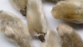 Κινεζικό χορτάρι των flos magnoliae ή biod του οφθαλμού magnolia φιλμ μικρού μήκους
