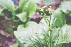 κινεζικό choy λαχανικό ποσού Στοκ Εικόνες