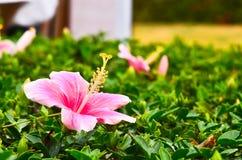 Κινεζικό hibiscus ροζ Στοκ φωτογραφία με δικαίωμα ελεύθερης χρήσης