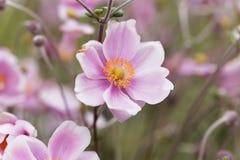 Κινεζικό hupehensis Anemone anemone Στοκ Φωτογραφίες