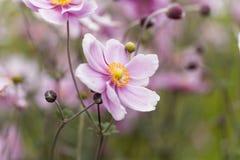 Κινεζικό hupehensis Anemone anemone Στοκ Εικόνες