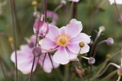Κινεζικό hupehensis Anemone anemone Στοκ φωτογραφία με δικαίωμα ελεύθερης χρήσης