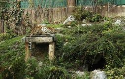 Κινεζικό Leopard Στοκ εικόνες με δικαίωμα ελεύθερης χρήσης