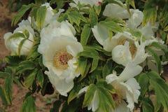 Κινεζικό peony λουλούδι Στοκ εικόνα με δικαίωμα ελεύθερης χρήσης