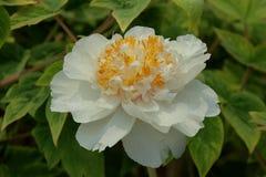 Κινεζικό peony λουλούδι Στοκ Εικόνες