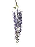 Κινεζικό wisteria (sinensis Wisteria) Στοκ φωτογραφία με δικαίωμα ελεύθερης χρήσης