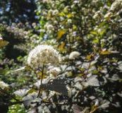 Κινηματογράφηση σε πρώτο πλάνο άσπρου diabolo ή Ninebark opulifolius Physocarpus λουλουδιών με τα πορφυρά φύλλα στο σκούρο μπλε υ στοκ φωτογραφία