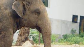 Κινηματογράφηση σε πρώτο πλάνο, ένας ελέφαντας στο ζωολογικό κήπο απόθεμα βίντεο