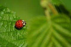 Κινηματογράφηση σε πρώτο πλάνο σε ένα γλυκό λίγο ladybug στοκ εικόνες με δικαίωμα ελεύθερης χρήσης