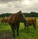 κινηματογράφηση σε πρώτο πλάνο αγελάδων στο λιβάδι στοκ εικόνα