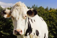 Κινηματογράφηση σε πρώτο πλάνο αγελάδων Στοκ εικόνα με δικαίωμα ελεύθερης χρήσης