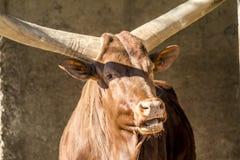 Κινηματογράφηση σε πρώτο πλάνο βοοειδών Ankole Στοκ Φωτογραφίες