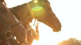 Κινηματογράφηση σε πρώτο πλάνο δύο αλόγων που τρώνε τα μήλα στο ηλιοβασίλεμα απόθεμα βίντεο