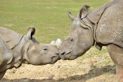Κινηματογράφηση σε πρώτο πλάνο δύο ινδικός ρινόκερος Στοκ Εικόνες