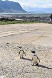 Κινηματογράφηση σε πρώτο πλάνο δύο χαριτωμένο Jackass Penguins στην παραλία στον κόλπο Bettyκοντά στο Καίηπ Τάουν στη Νότια Αφρ στοκ φωτογραφία με δικαίωμα ελεύθερης χρήσης