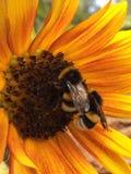 Κινηματογράφηση σε πρώτο πλάνο δύο bumble-bees στον ηλίανθο στοκ φωτογραφία με δικαίωμα ελεύθερης χρήσης