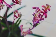 Κινηματογράφηση σε πρώτο πλάνο εγκαταστάσεων Anigozanthos ποδιών καγκουρό με το ΛΦ κόκκινος-ροζ Στοκ φωτογραφία με δικαίωμα ελεύθερης χρήσης
