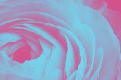 Κινηματογράφηση σε πρώτο πλάνο ενιαία λεπτομέρεια λουλουδιών βατραχίων σε ένα ρόδινου και μπλε duotone υπόβαθρο υπεριώδους ακτίνα Στοκ Φωτογραφίες