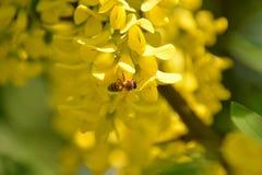 Κινηματογράφηση σε πρώτο πλάνο εντόμων Μέλισσα που συλλέγει το νέκταρ από το συμπαθητικό κίτρινο λουλούδι της ακακίας στοκ φωτογραφία